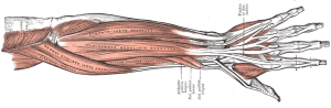 196px-Forearm_muscles_back_superficial